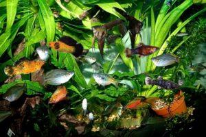 rybki v akvariume
